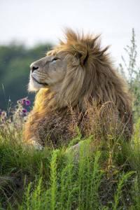 fenséges oroszlán