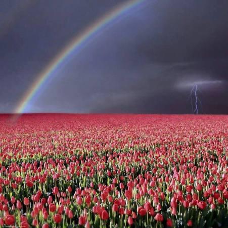 szivárvány vihar, tulipánmező