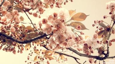 japán cseresznyevirágok