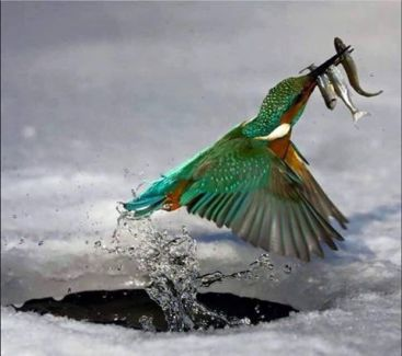jégmadár halakkal