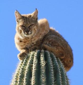 hiúz a kaktuszon 1